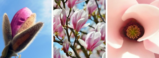 Blick ins Innere einer geöffneten Magnolienblüte